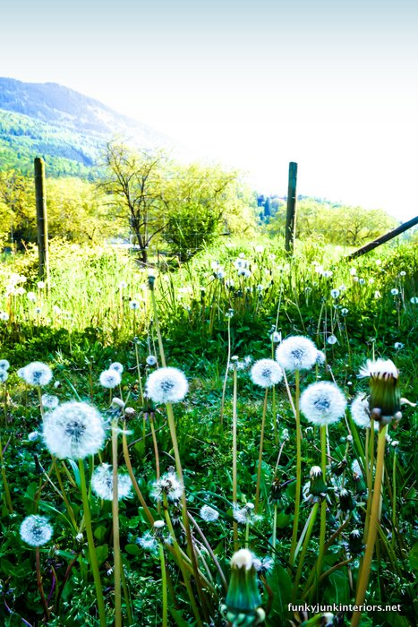 Dandelion filled field / Open letter to my dream farm  / FunkyJunkInteriors.net