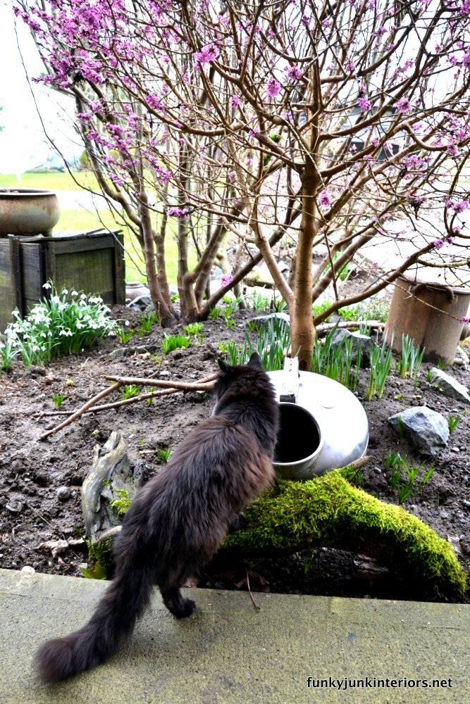 Teddy the chocolate brown cat drinking water out of a milk can in a spring flower bed in full bloom.
