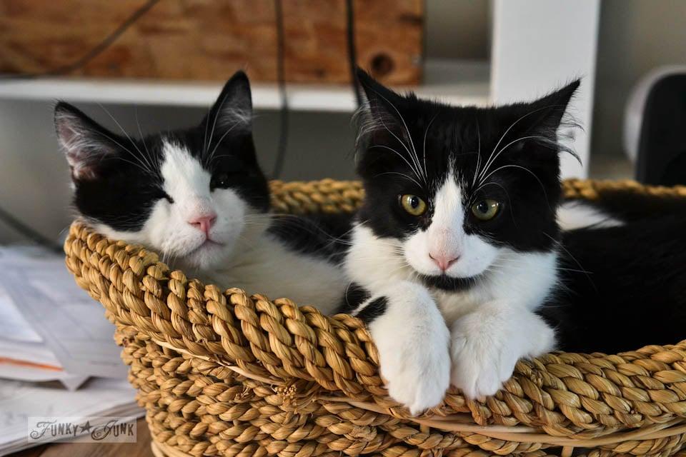 Funky Junk's tuxedo cats, Lake and Skye