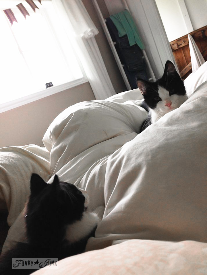 tuxedo cats in a bed