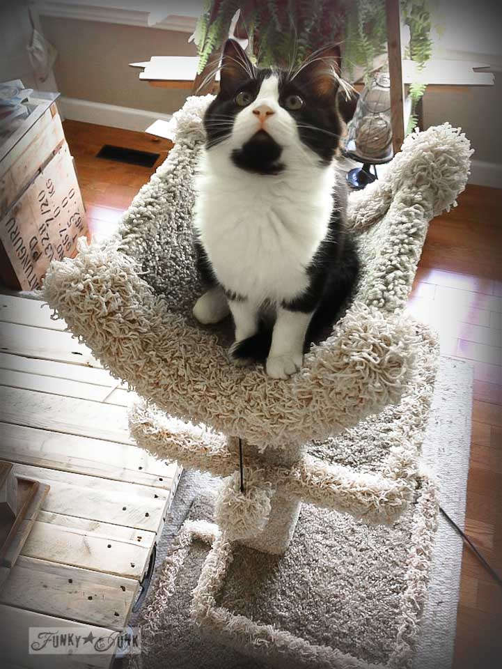 tuxedo cat Skye on her cat tree