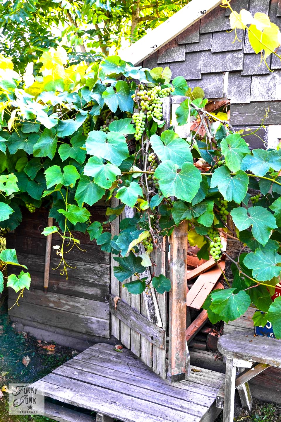 Rustic garden shed via Funky Junk Interiors - grapevines growing over barnwood door