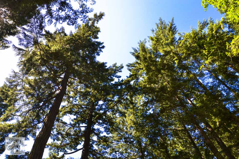 If I lived near Cultus Lake - tall forest trees rising beyond a blue sky