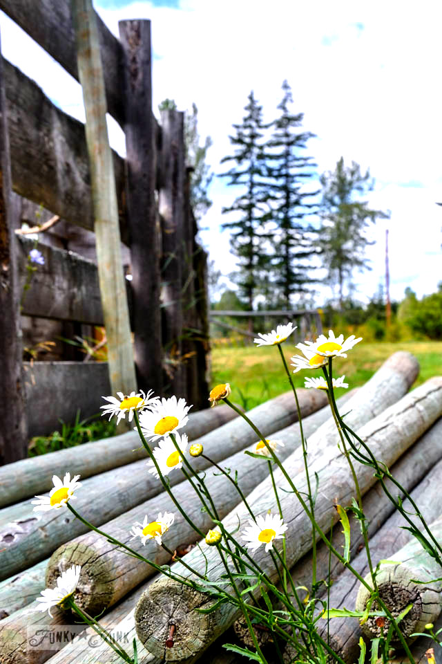 Wild daisies beside a rustic fence - Part 6 / Dreamy Cottage Grounds via Funky Junk Interiors