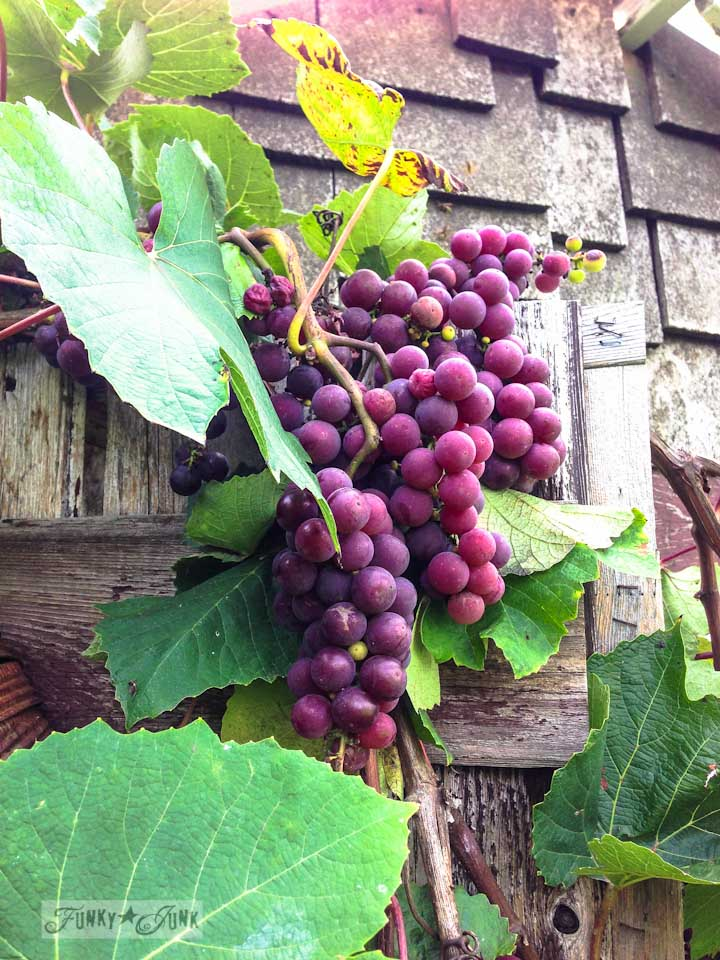 Ripe grapes on a grapevine - during a garden gone wild therapy session via  https://www.funkyjunkinteriors.net/