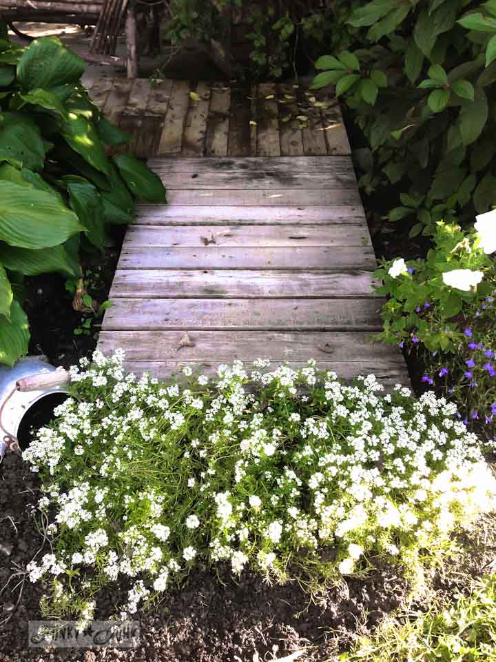 Pallet walkway and alyssum during a garden gone wild therapy session via  https://www.funkyjunkinteriors.net/
