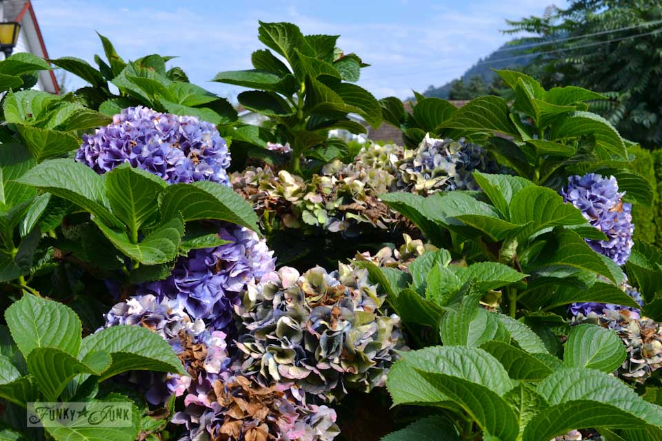 Harvesting hydrangeas off a bush via https://www.funkyjunkinteriors.net
