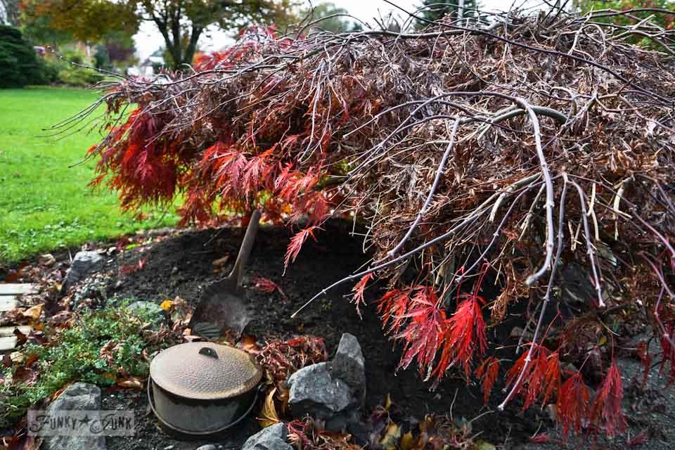 japanese maple tree in fall via https://www.funkyjunkinteriors.net/