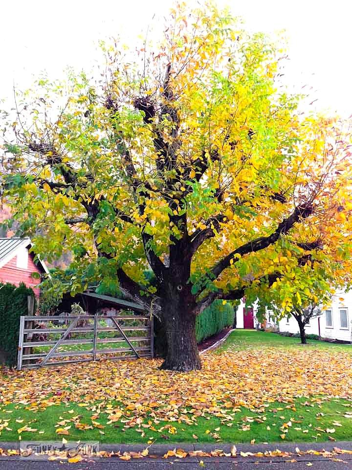 Fall trees / Fall walking up Majuba Hill via https://www.funkyjunkinteriors.net/