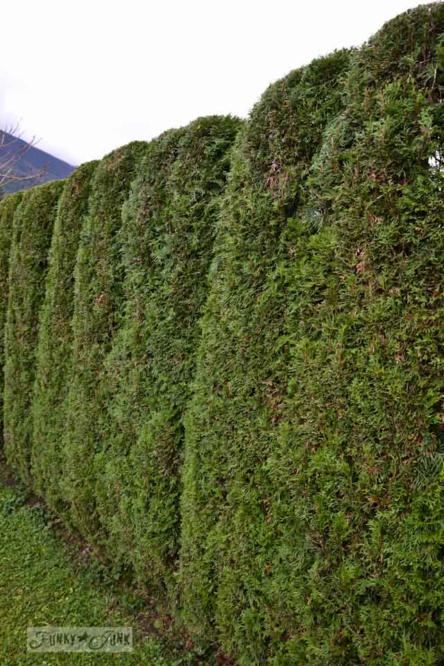 Trimmed cedar hedges along two sides of a yard | funkyjunkinteriors.net