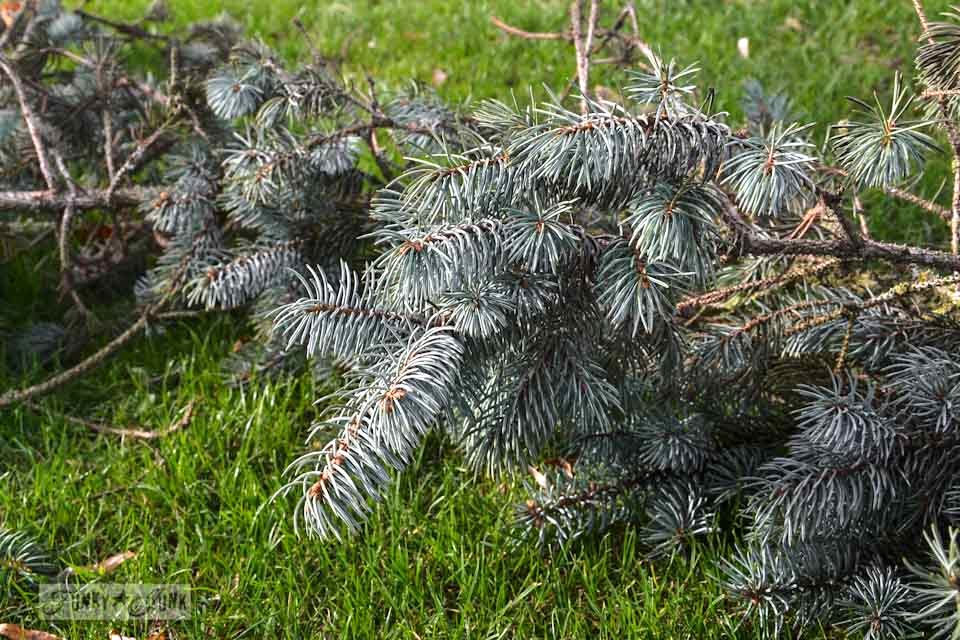 Blue spruce / How to shop nature for Christmas decorating... where to find it and what to do with it  via https://www.funkyjunkinteriors.net/