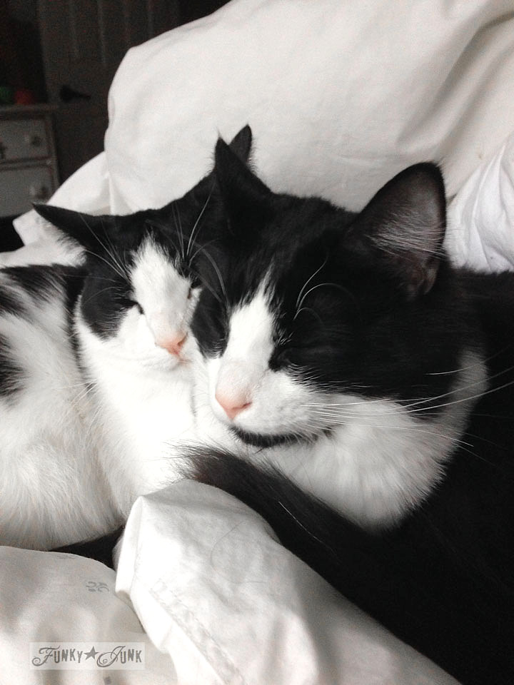 Tuxedo cat cuddles via https://www.funkyjunkinteriors.net/