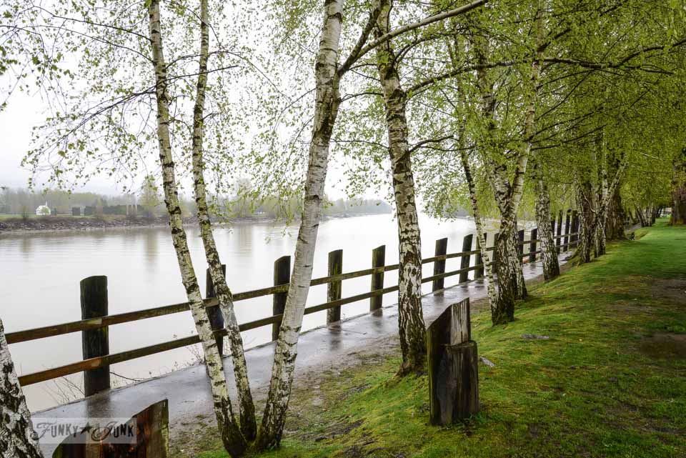 Birch trees along the river in Langley, British Columbia via FunkyJunkInteriors.net