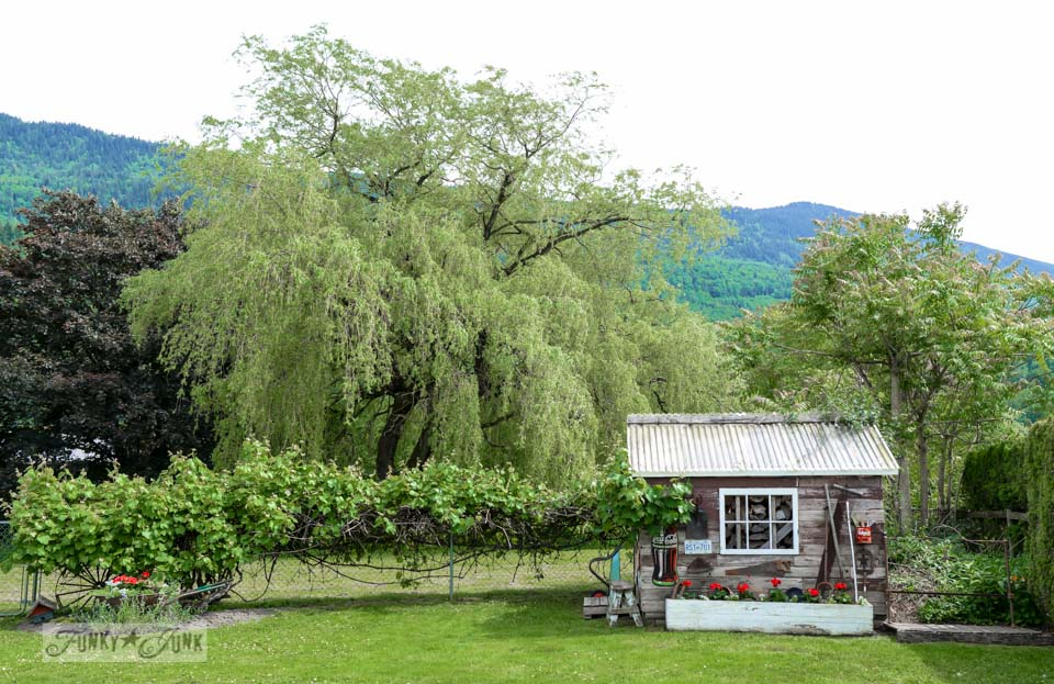 Rustic garden shed with grapevine in spring on FunkyJunkInteriors.net