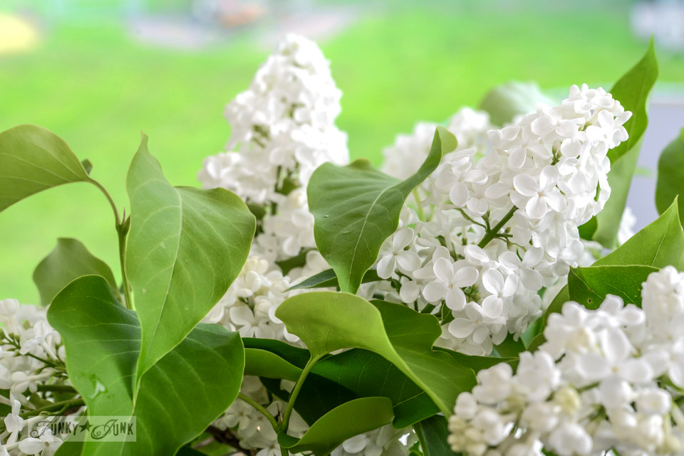 White lilac bush via FunkyJunkInteriors.net
