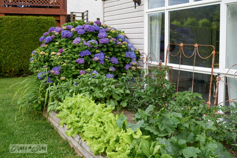 Purple hydrangeas and veggie garden / If it weren't for those ever reliable blooming perennials... via FunkyJunkInteriors.net