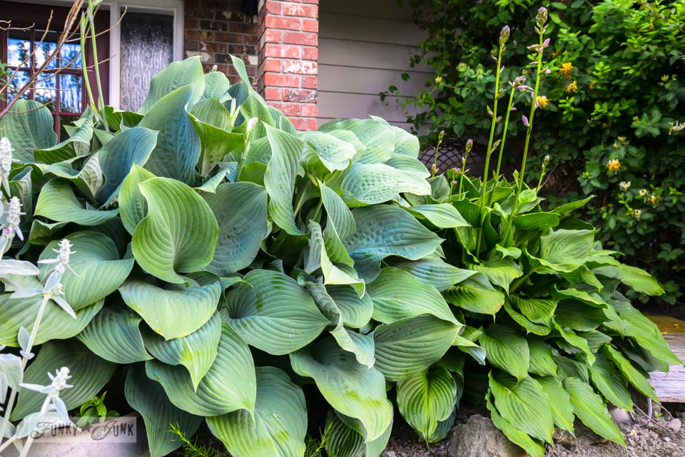 Hostas / If it weren't for those ever reliable blooming perennials... via FunkyJunkInteriors.net