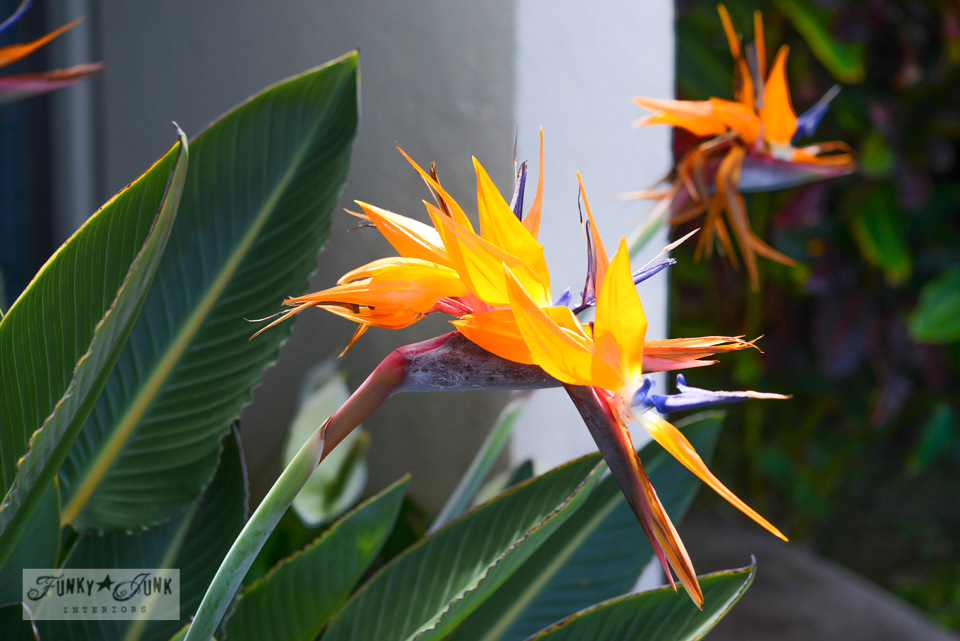 Bird of Paradise / Hawaiian flowers on FunkyJunkInteriors.net