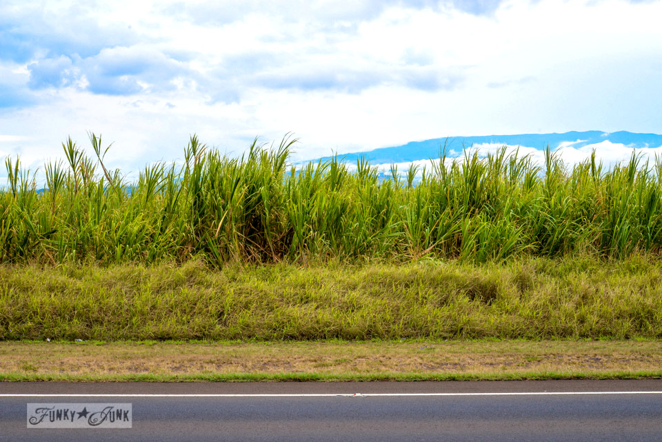 Sugarcane fields / Why you need to visit Paia, and other Maui tips / FunkyJunkInteriors.net