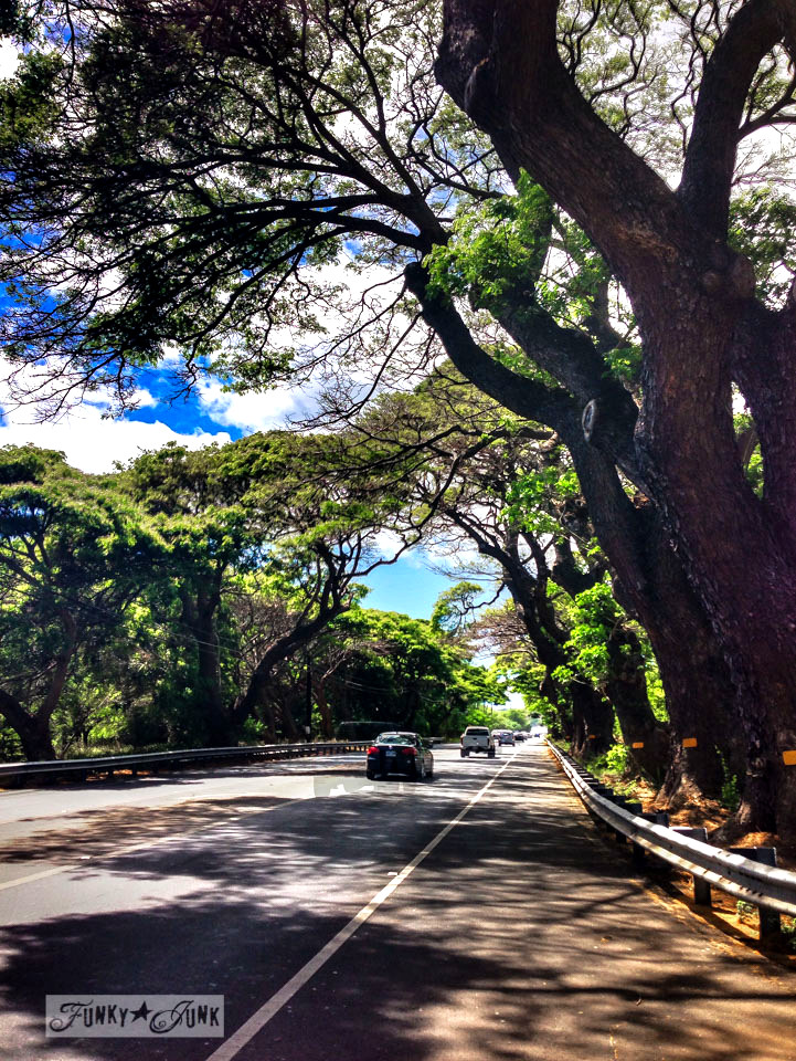 Massive Maui trees / Why you need to visit Paia, and other Maui tips / FunkyJunkInteriors.net