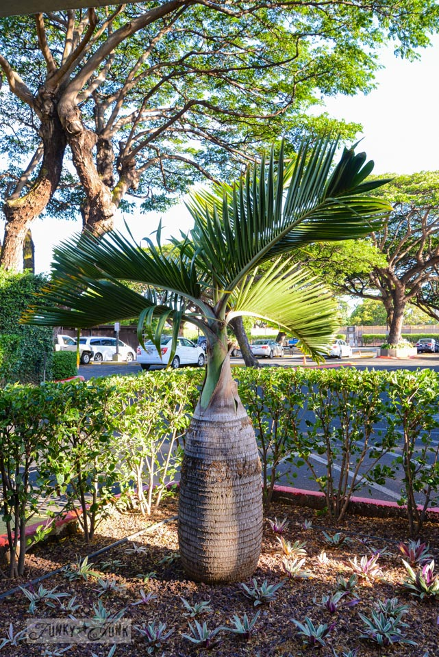 Bottle palm tree / A tropical stay at Papakea Resort in Maui. Beautiful beach and sunset photos via FunkyJunkInteriors.net