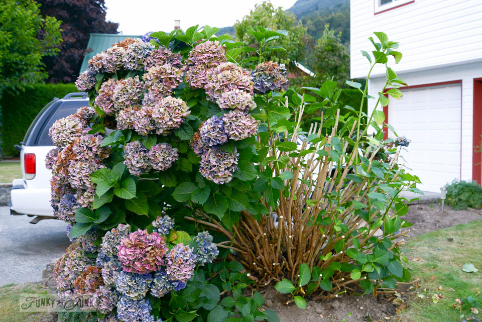 Harvesting fall hydrangeas / Forever beautiful buckets of hydrangeas on a ladder and how to dry  /  via FunkyJunkInteriors.net