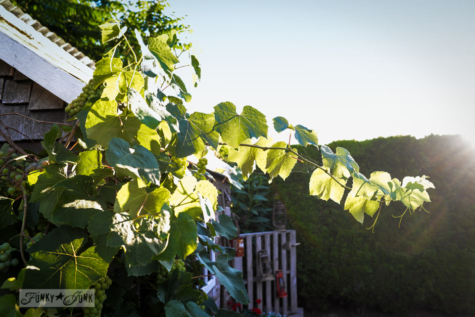 grapevines on a shed / A new pallet gate and boardwalk for the shed - make this in an hour! via FunkyJunkInteriors.net
