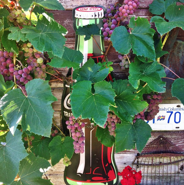 Grapes on a rustic shed via FunkyJunkInteriors.net