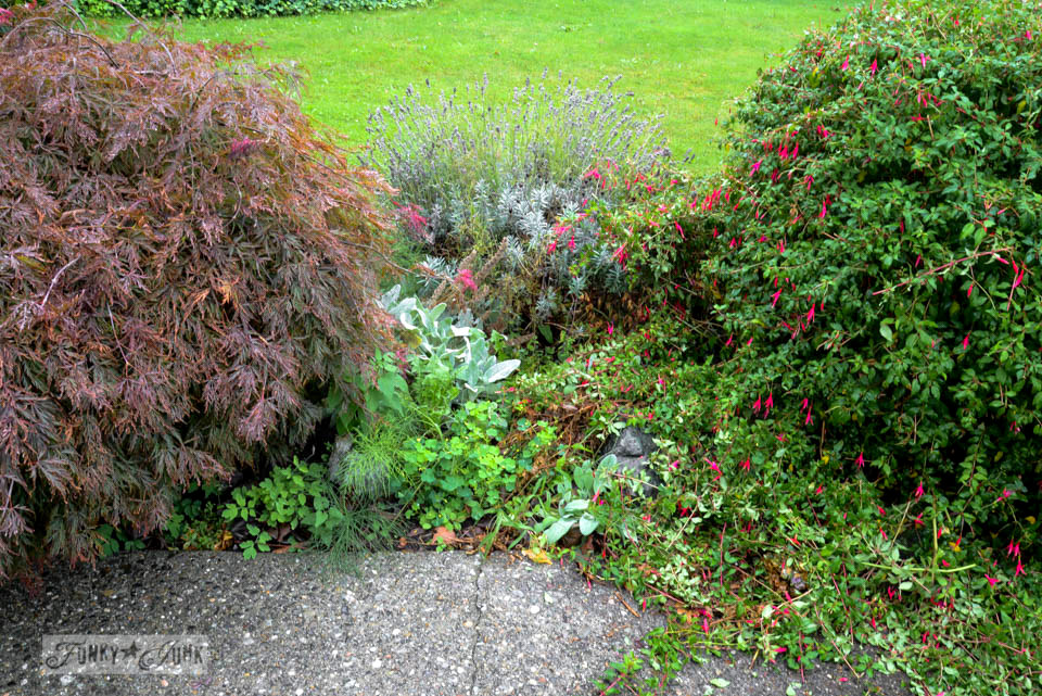 neglected lavender bush before