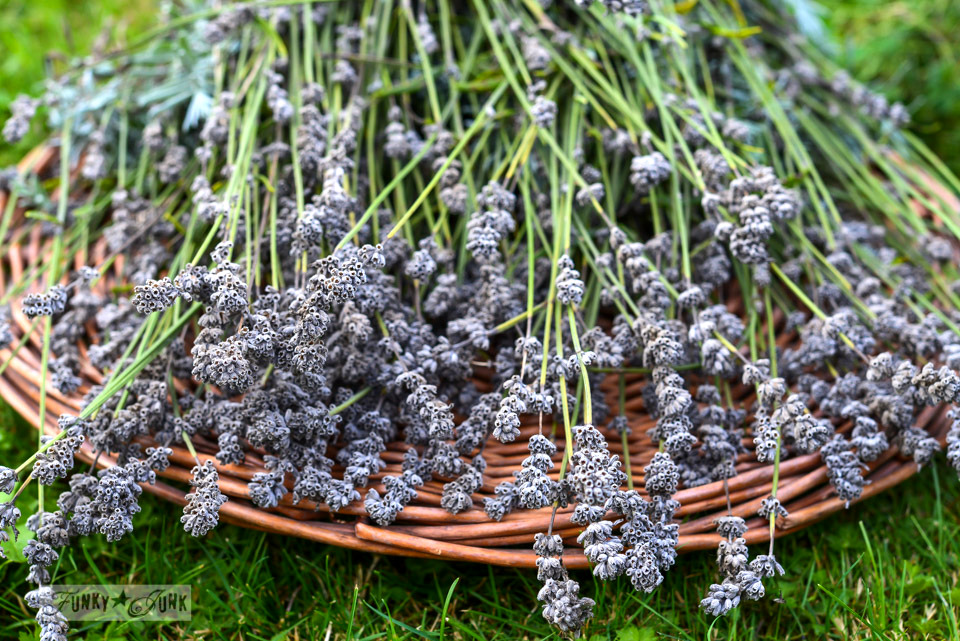 cut lavender for drying on FunkyJunkInteriors.net