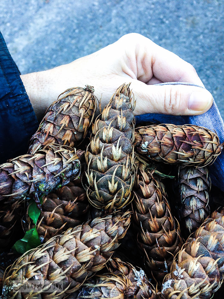 Pinecone collecting / How I shop outdoors for Christmas decor / outdoor shopping tips via FunkyJunkInteriors.net