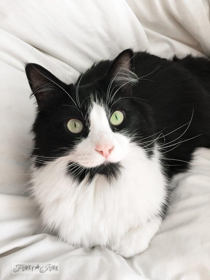 Tuxedo black and white cat Skye / FunkyJunkInteriors.net