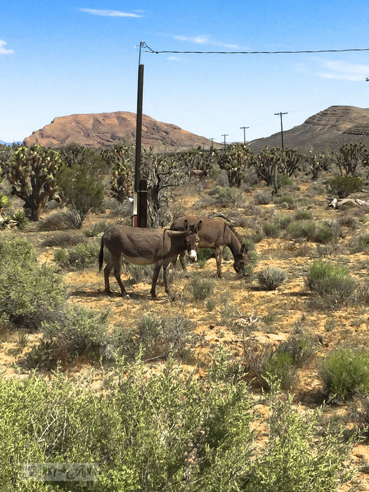 Wild burros / Visiting the stunning Red Rock Canyon while in Vegas / FunkyJunkInteriors.net