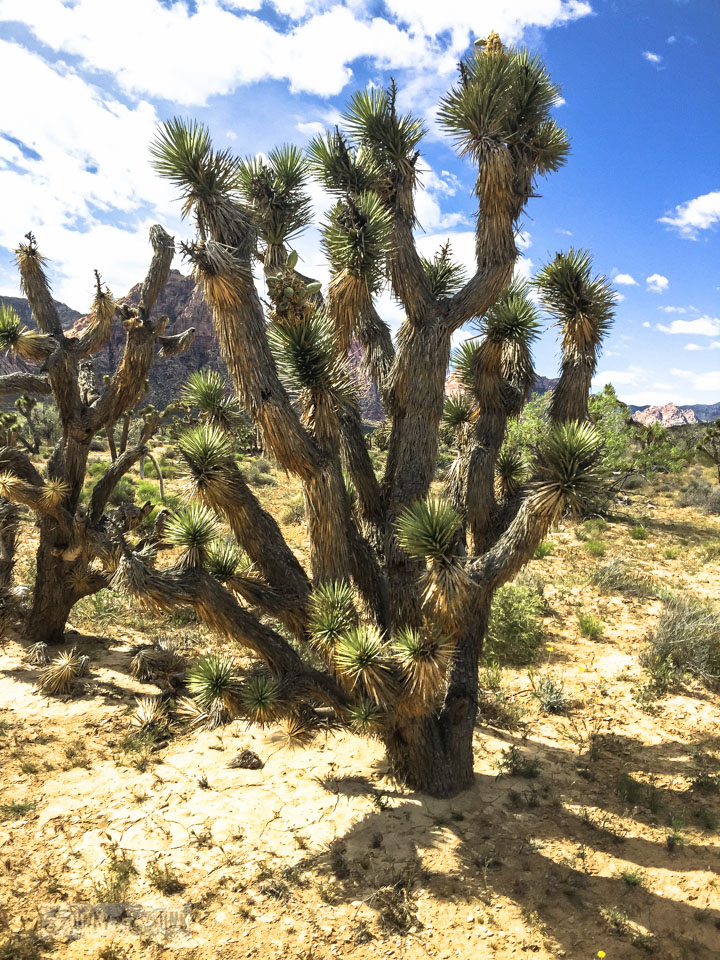 Joshua Trees / Visiting the stunning Red Rock Canyon while in Vegas / FunkyJunkInteriors.net