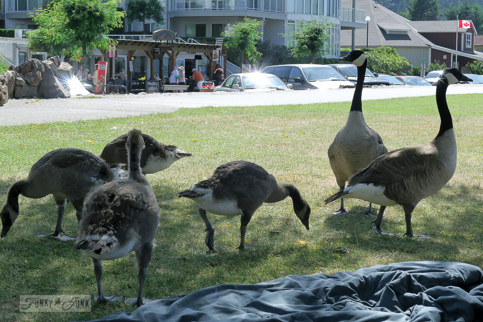 Canadian Geese at Harrison Hot Springs / FunkyJunkInteriors.net