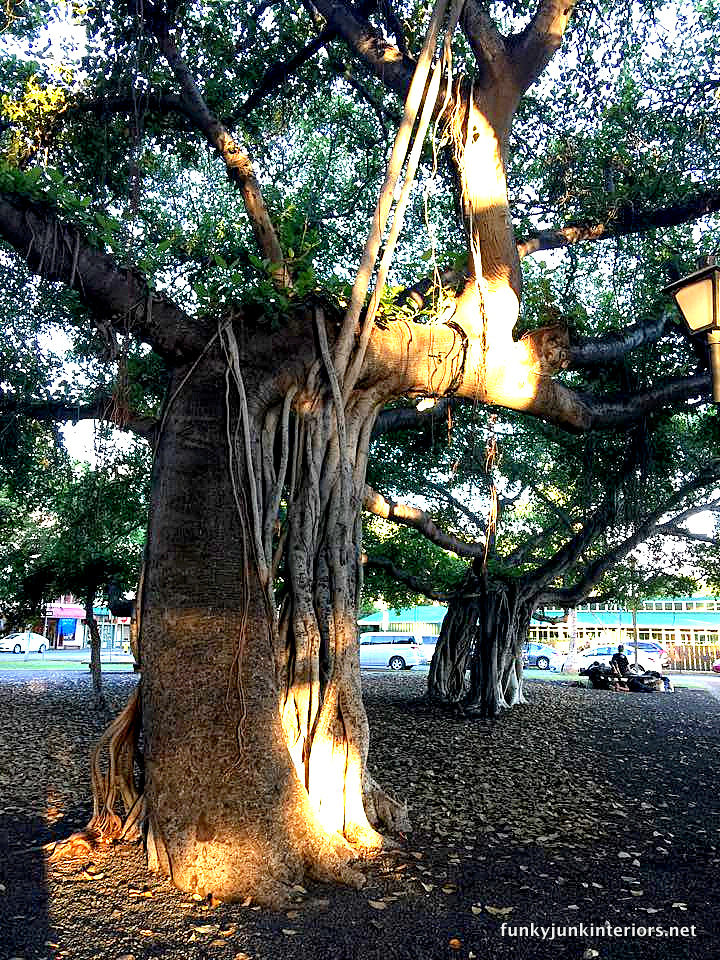The banyan tree in Lahaina, Maui / funkyjunkinteriors.net