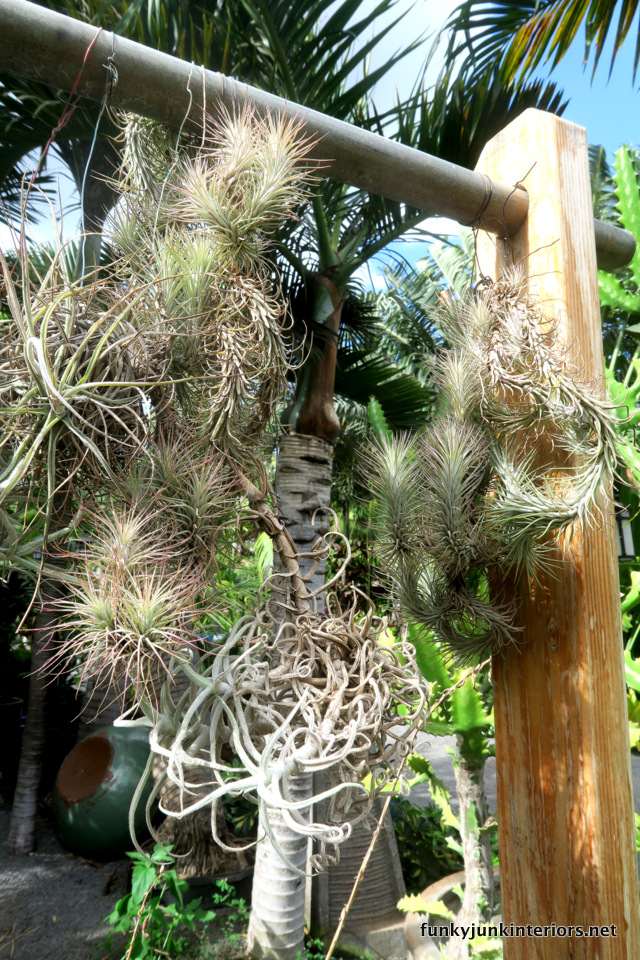 Tropical Air Plants South Maui Gardens A Plant Nursery Tour Funkyjunkinteirors