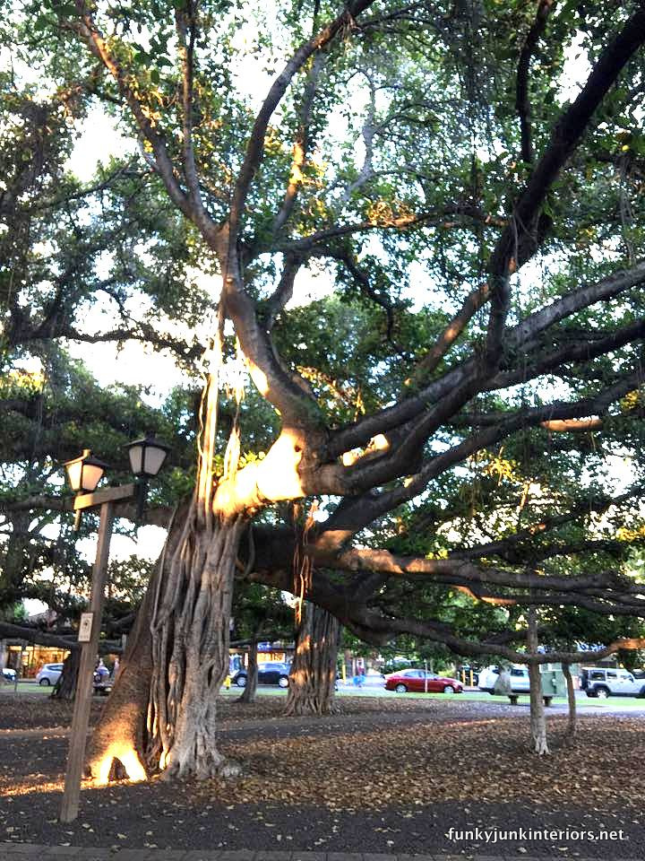 North Ameria's largest banyan tree in Lahaina, Maui / funkyjunkinteriors.net