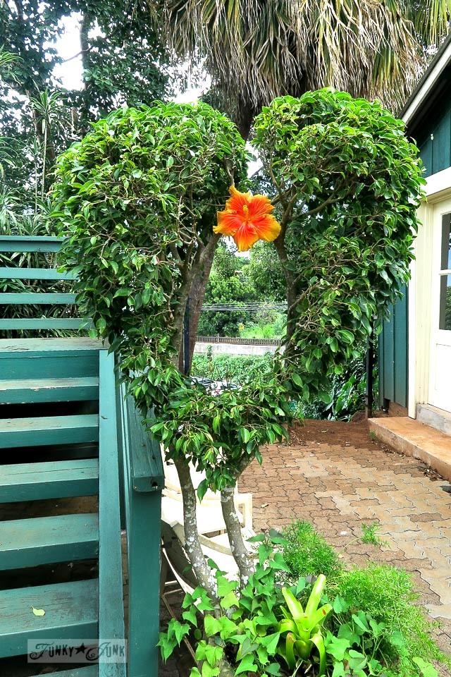 Heart shaped shrub in Makawao, Maui / funkyjunkinteriors.net