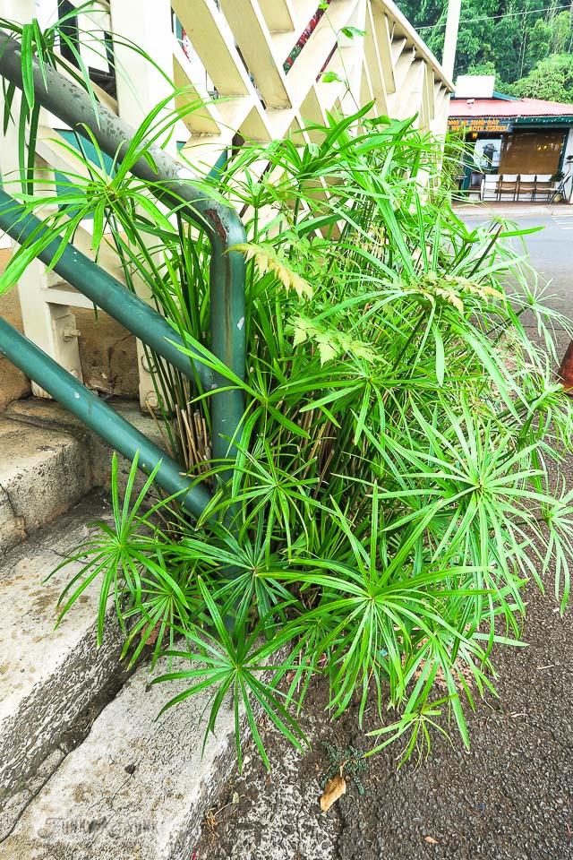 Mini palm vegetation in Makawao, Maui / www.funkyjunkinteriors.net