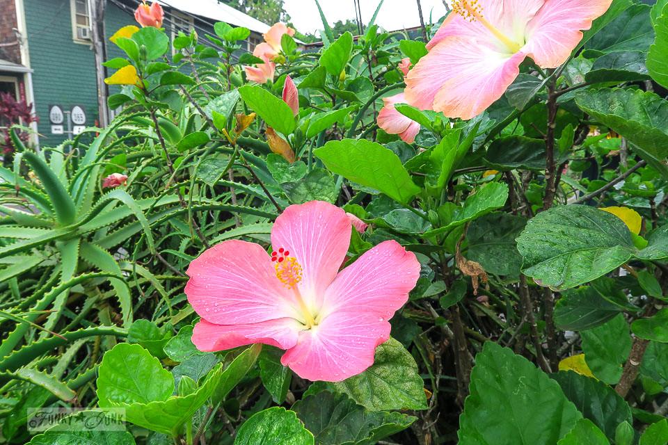 Hibiscus in Makawao, Maui / funkyjunkinteriors.net