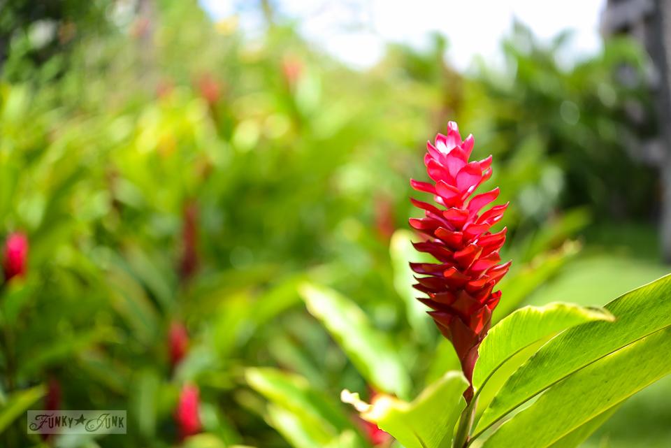 Red ginger, Hawaiian flower in Maui / funkyjunkinteriors.net
