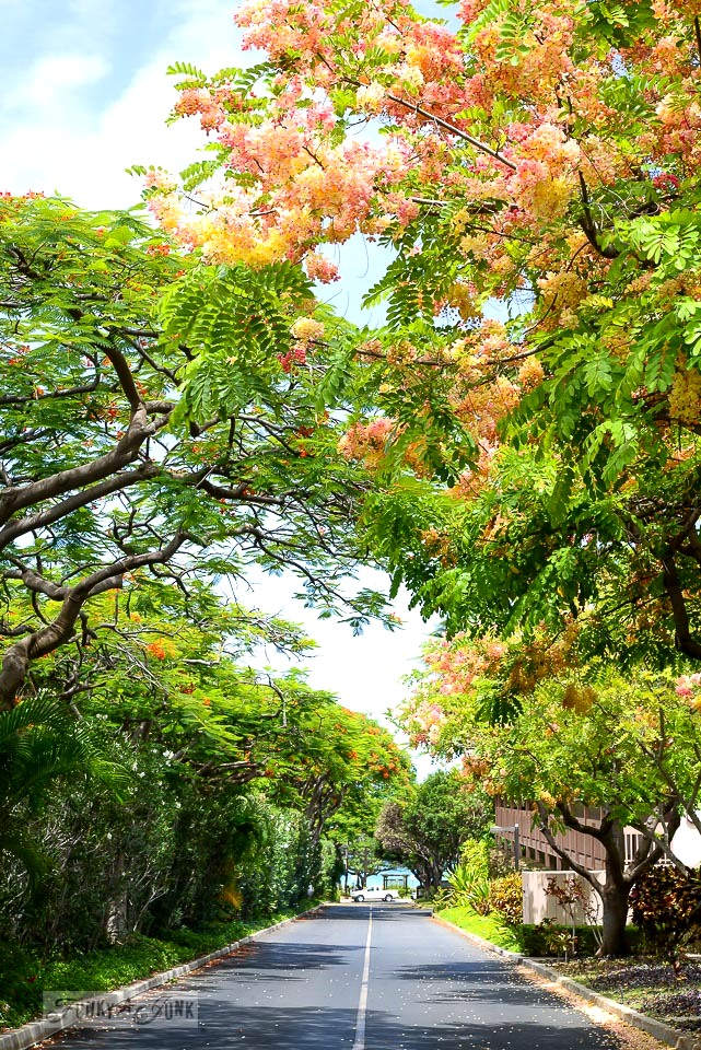 Rainbow shower trees that line a condo road, near the beach, in Kihei, Maui / funkyjunkinteriors.net
