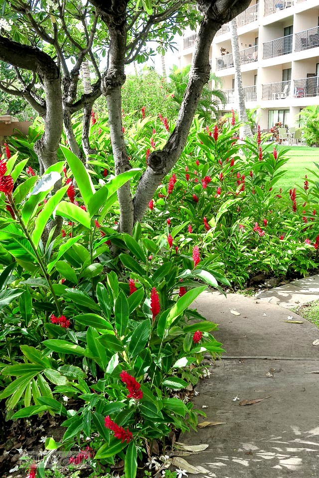 Red ginger flowerbed in a tropical garden at Kihei Akahi / funkyjunkinteriors.net