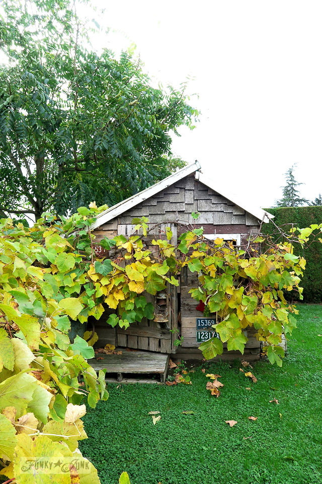 Vibrant fall leaves of a grapevine incasing a rustic shed / funkyjunkinteriors.net