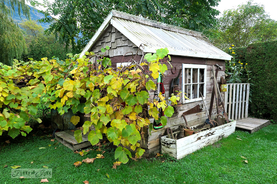 Fall grapevine hugging a rustic shed-1096