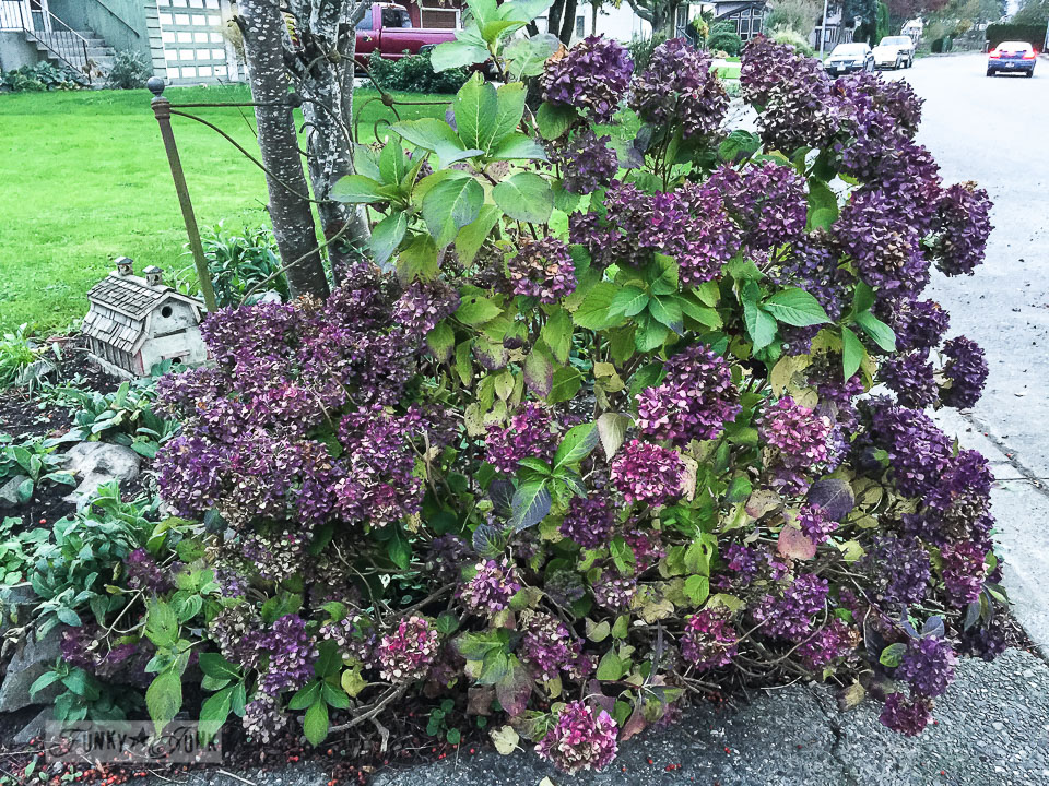 purple fall hydrangeas / funkyjunkinteriors.net