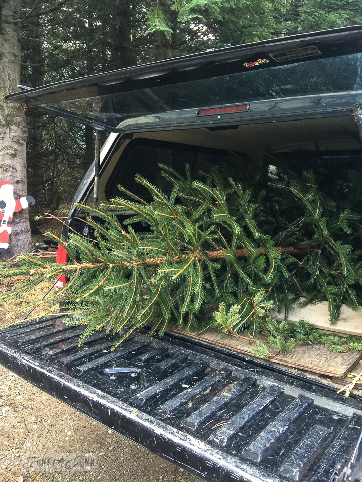 Visiting the Christmas tree farm  - carting the tree home in the back of the truck