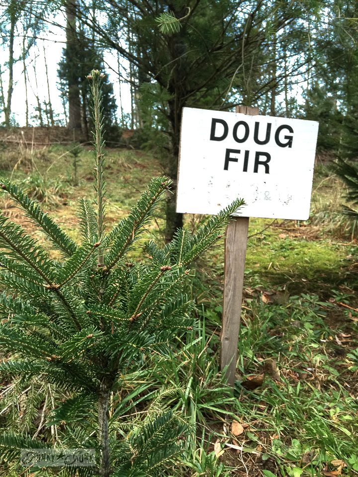 Visiting the Christmas tree farm  - doug fir sign
