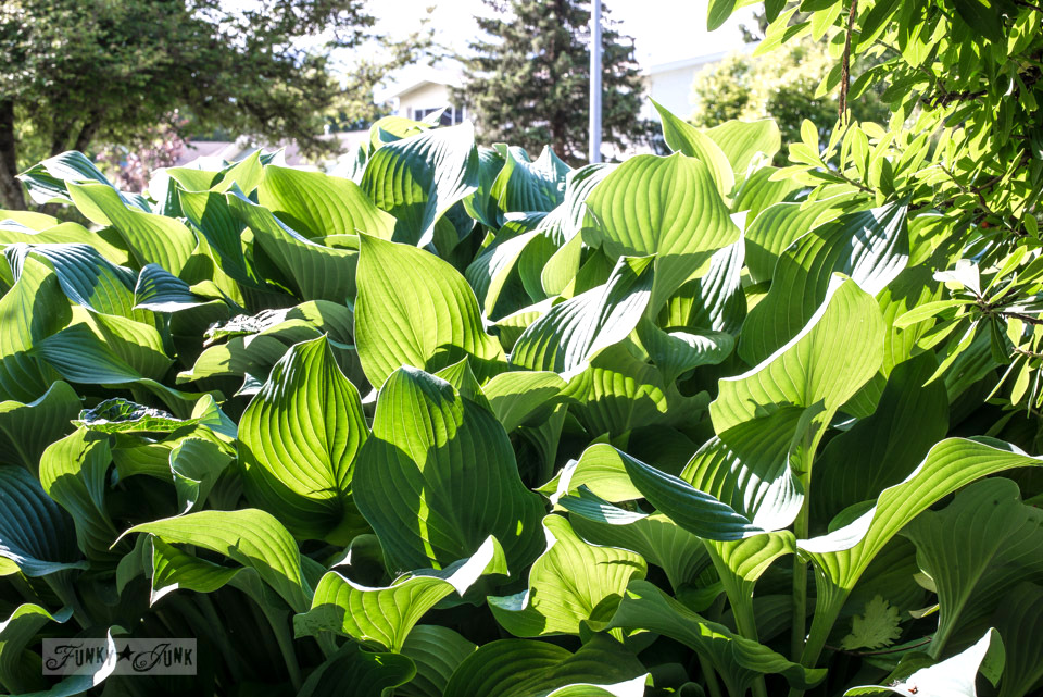 sunlit hostas by the front door